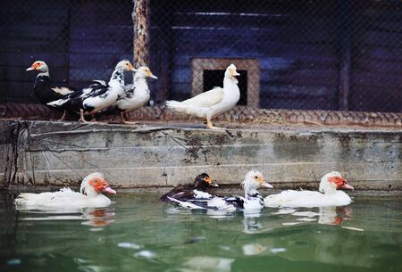 musk ducks and geese walk and swim in the pool in the water against the background of the poultry yard and poultry farm. Standard-Bild
