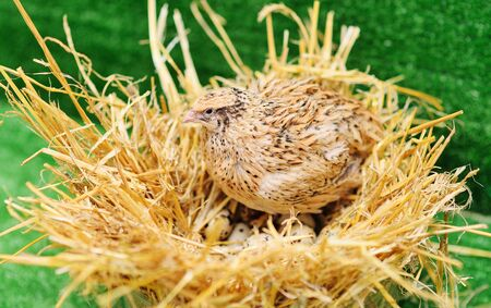 a domestic quail sits in a nest and hatches quail eggs.Poultry farm, agriculture