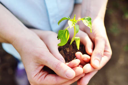 close-up of a childs hands in the hands of an adult holding a sprout or a green seedling of a young plant against the ground.Ecology, landscaping, environmental protection.