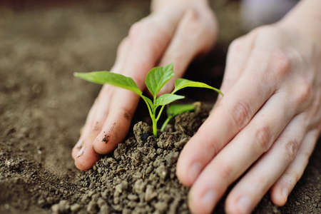 hands close-up plant a young green sprout or seedling in the soil. Landscaping, ecology, new life, environmental protection.