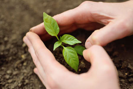 hands close-up plant in the ground or in the soil a small green seedling of a plant or flower. The concept of ecology, gardening, spring, new life.