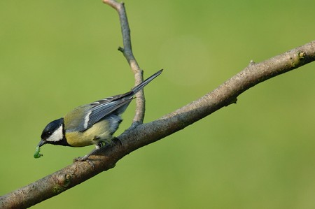 great tit: Great Tit With Caterpillar