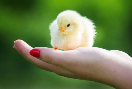 animal origin: Man holding a small newly hatched yellow Chicken in a hand.