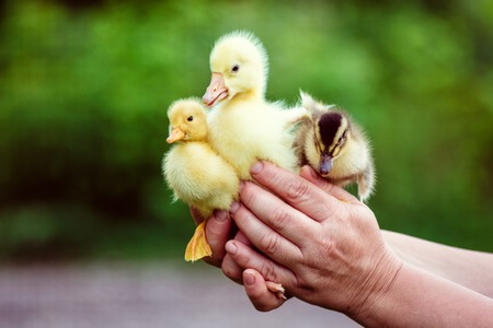 two ducks: Man holds a goose and two ducks. Stock Photo