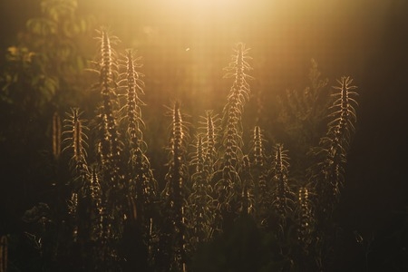 screensavers: Grass at sunset. Beautiful retro effect. Photo to use screensavers and backgrounds. Dry grass in the sun.