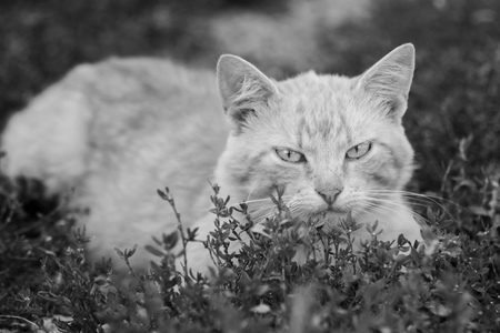 Black and white photo cat, close-up. Cat in the grass. Stock Photo
