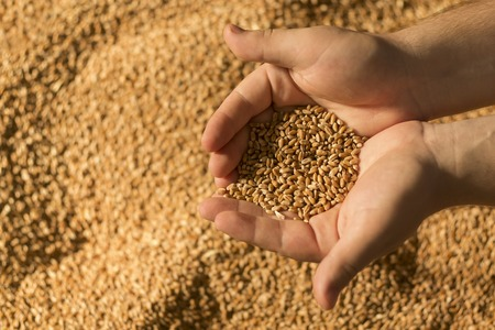 Wheat in the hand of man.Man holding wheat in hands. Stock Photo