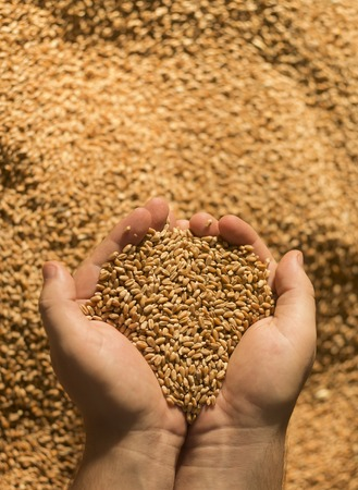 cereals holding hands: Wheat in the hand of man.Man holding wheat in hands. Stock Photo