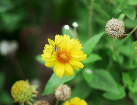 misumena: Spider sitting on a yellow flower. Great plan. Stock Photo