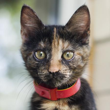 Dark cat with red collar. Stock Photo