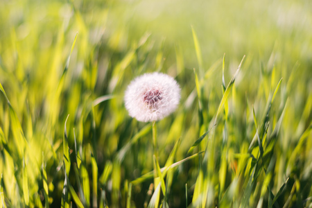 Close-up photo of ripe dandelion. White flowers in green grass. Closeup of fluffy white dandelion in grass with field flowers. The background.