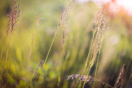 Soft focus grass in the wind and sunset