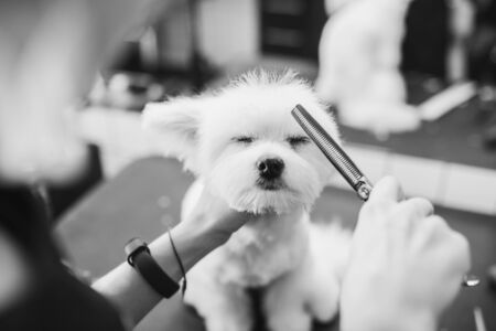 Maltese dog grooming. Haircut dog. Helping animals. Standard-Bild - 150415934