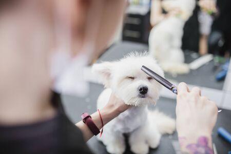 Maltese dog grooming. Haircut dog. Helping animals. Standard-Bild - 150415937