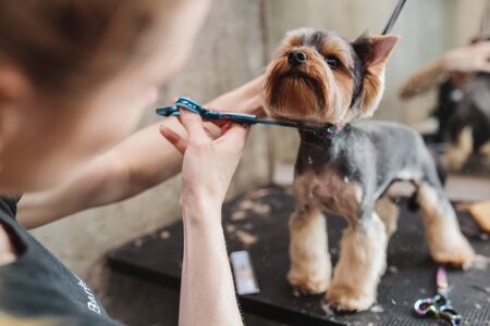Yorkshire in the grooming salon. Caring for little friends. Standard-Bild - 150141739