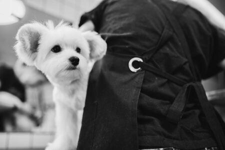 Maltese dog grooming. Haircut dog. Helping animals.