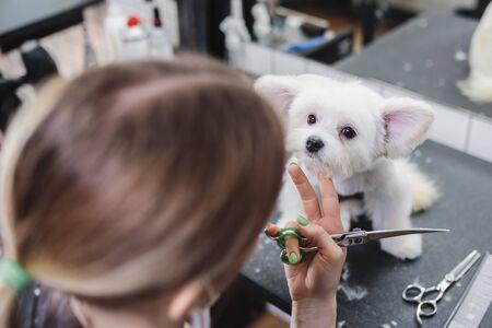 Haircut of a white little dog. Beautiful and funny dog. Maltese dog Standard-Bild