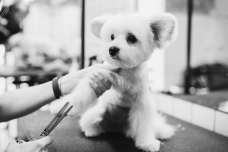 Haircut of a white little dog. Beautiful and funny dog. Maltese dog Standard-Bild - 150415959