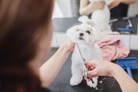 Maltese dog at grooming salon. Little smile dog.