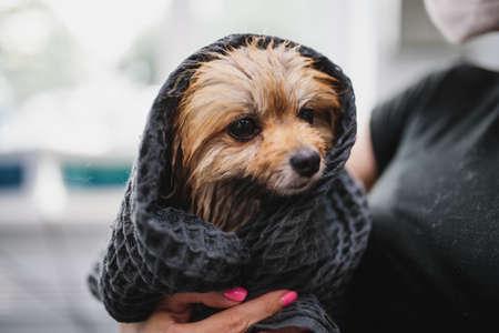 Wet Spitz under a towel. Animal care.