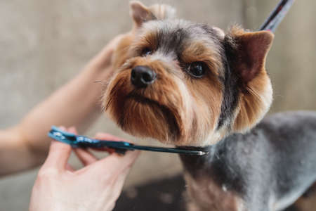 process of final shearing of a dogs hair with scissors. muzzle of a dog view 免版税图像