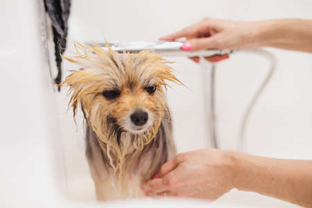 Bathing the dog. Care and help for little friends. 免版税图像