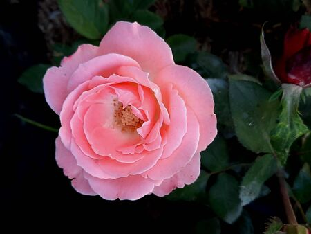 macro closeup from a pink single rose blossom with free space on blurred dark background