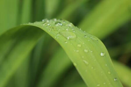 macro closeup from small reflecting  raindrops on bright green leaf for background and wallpaper with copy space