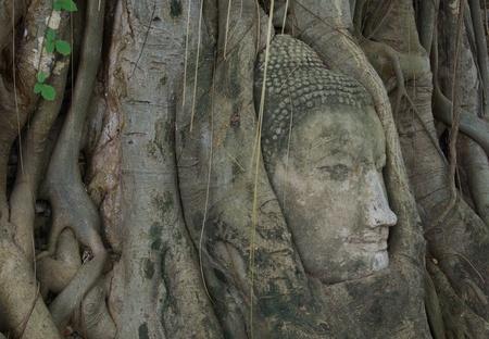 buddha head stuck in the tree3 Stock Photo