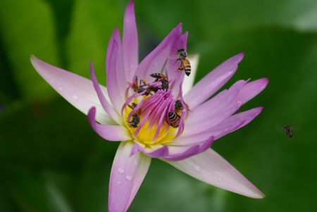 Bees and violet lotus