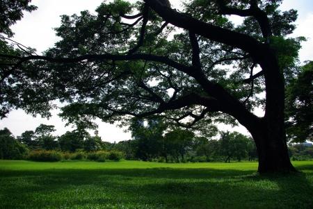 A big tree in the yard