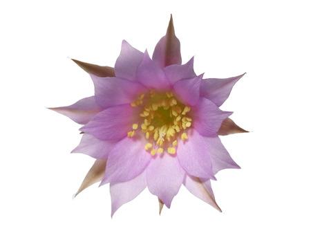 isolate cactus flower Stock Photo