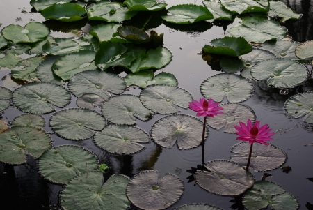pink lotus in the swamp