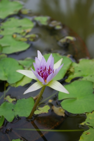 violet lotus in the swamp Stock Photo