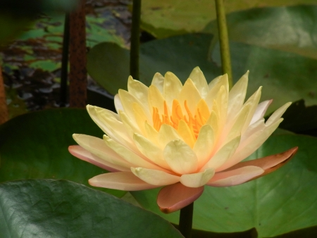 yellow lotus in the swamp