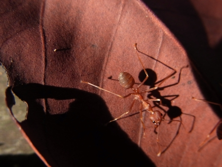 An ant on the dry leaf