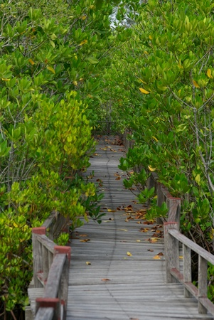 mangrove forest: Walk way in the mangrove forest Stock Photo