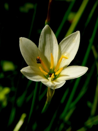 Bee on a lily