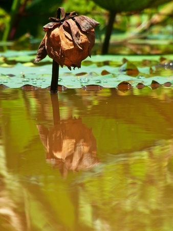 Dried lotus in the swamp