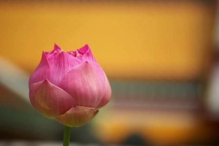 Pink lotus pink lotus