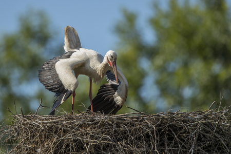 White stork (Ciconia ciconia) in the nest Stock Photo