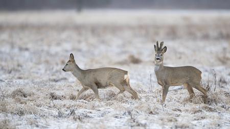 Roebuck and roe deer (Capreolus capreolus)