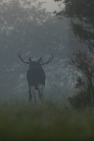 Moose bull (Alces alces) in the mist