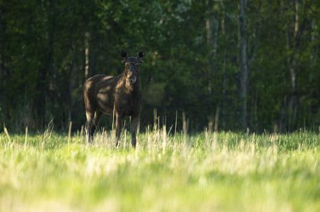 Moose bull (Alces alces) Stockfoto