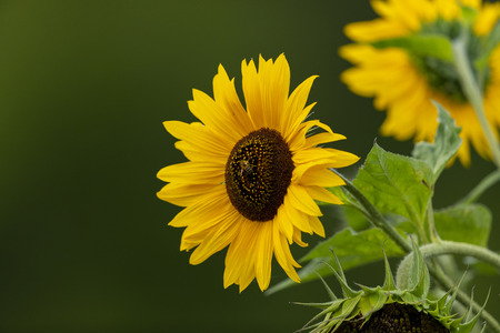 Common sunflower (Helianthus annuus) Banque d'images