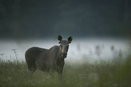 Young Moose bull (Alces alces)