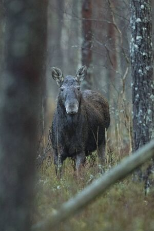 Moose cow in a forest (Alces alces)
