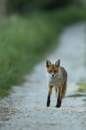 Red fox on a road (Vulpes vulpes)