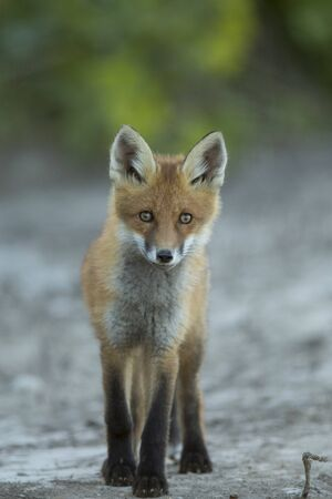 Young Red fox (Vulpes vulpes) Imagens