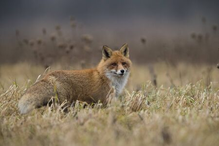 Red fox (Vulpes vulpes) in the field